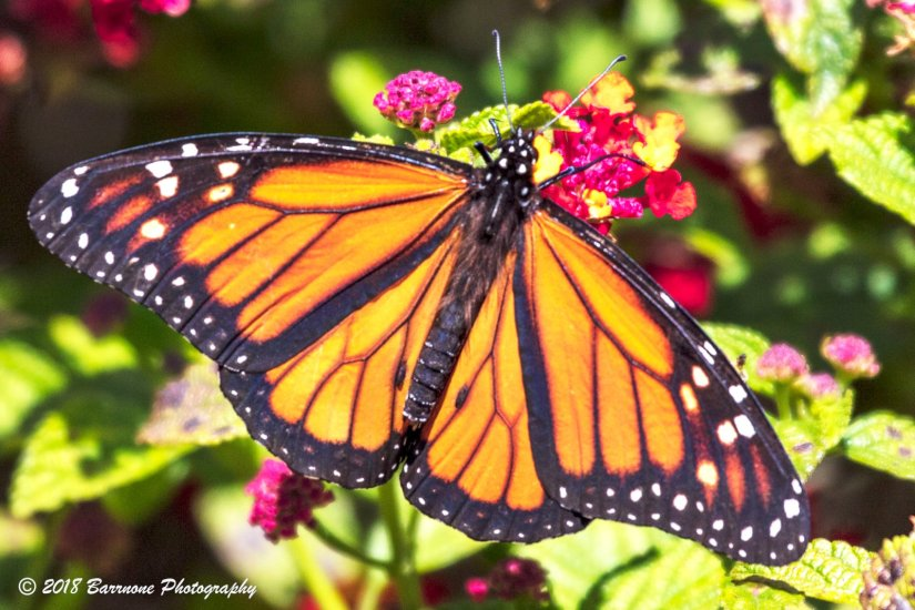 Rick Barr - Butterfly