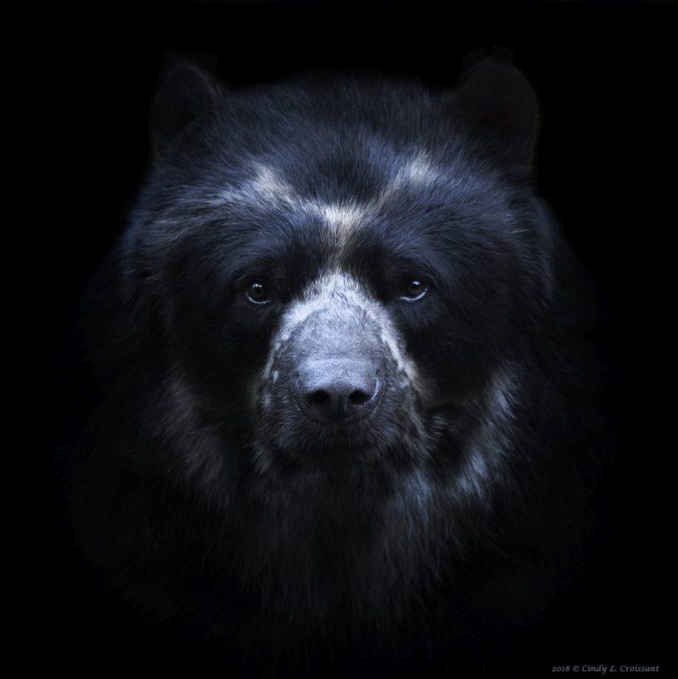 Cindy Croissant - Andean Bear