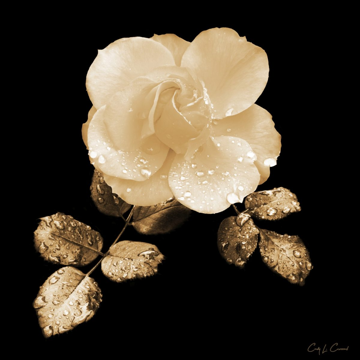 Cindy Croissant - Rain on a Rose
