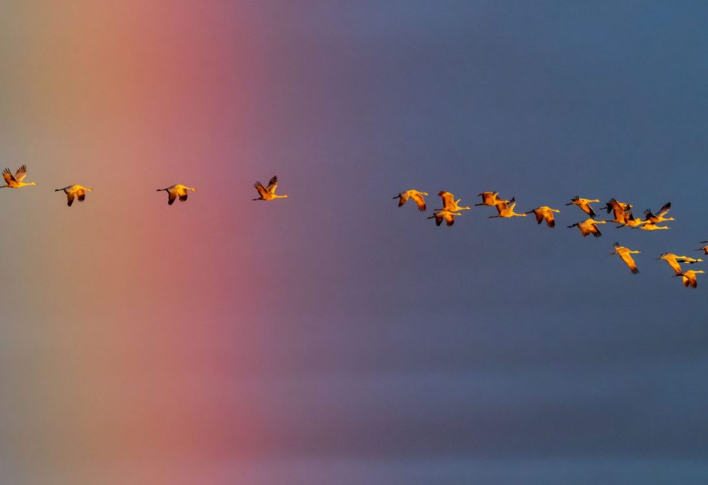 Dana M. Smith - Sandhill Cranes Sunrise Rainbow