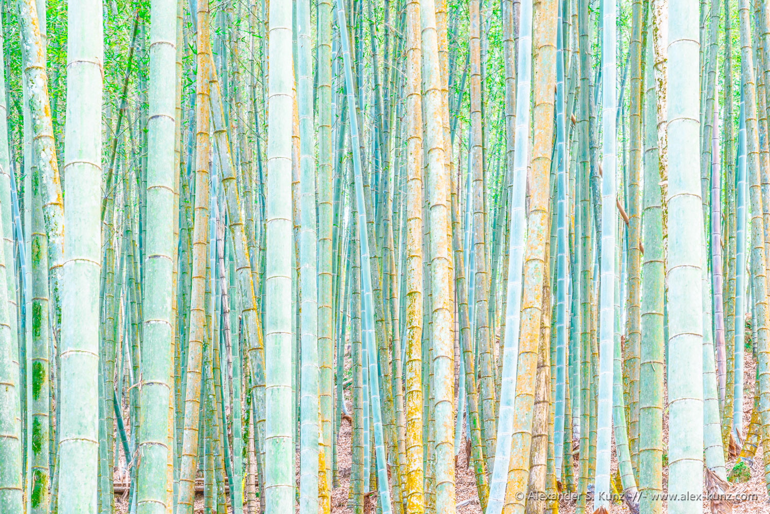 """Natural Obstacle"" - a dense growth of bamboo makes passing through impossible. Photo (C) Alexander S. Kunz"