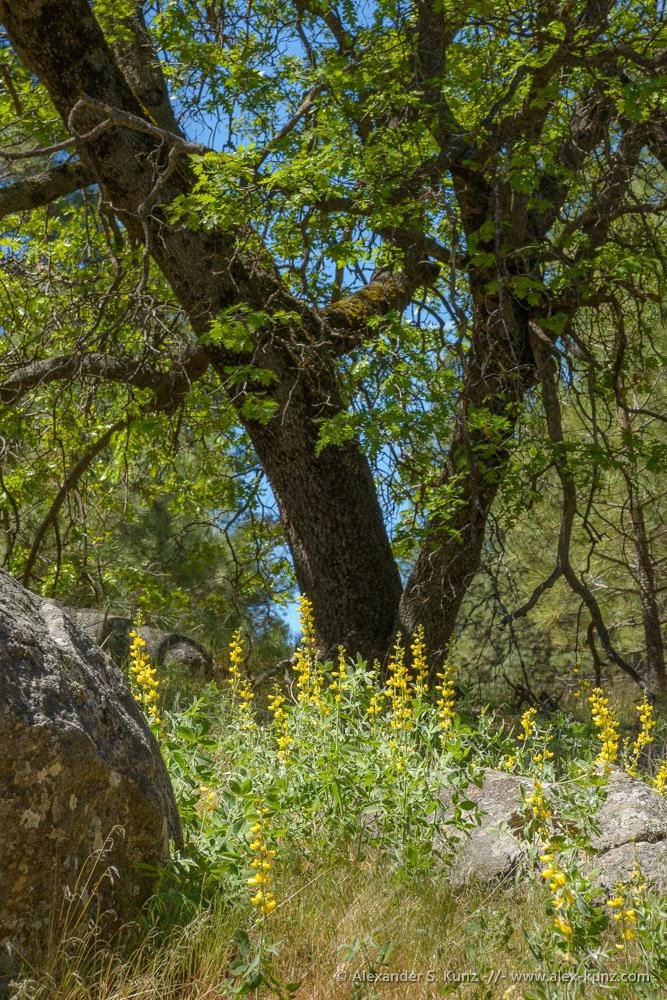 Thermopsis californica var. semota (Velvety False Lupine) and Black Oak (Quercus kelloggii)