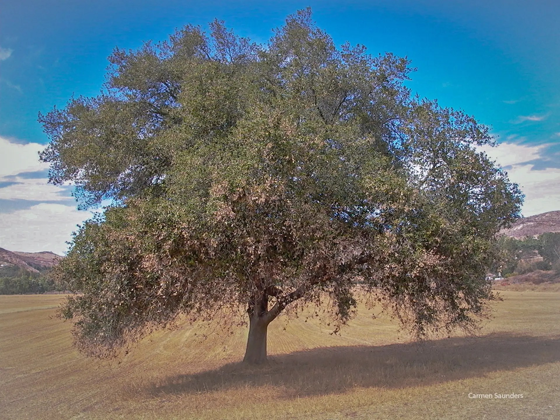 Carmen Saunders - Oak Tree, Valley Center, 2004