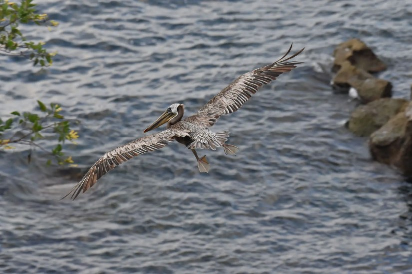 Chris Gaines - Pelican in Flight