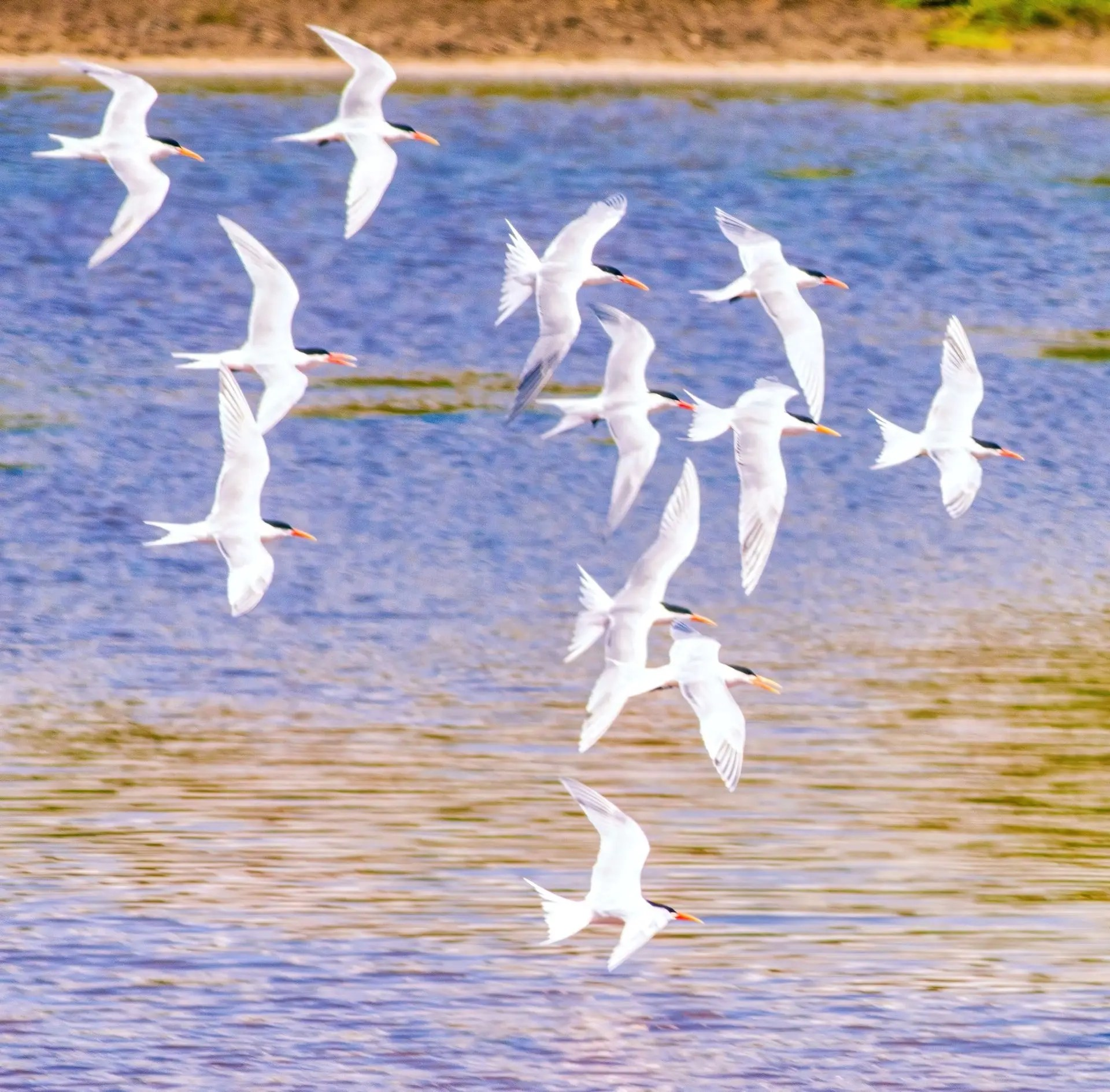 Terrance Rodgers - Royal Terns at San Elijo Lagoon