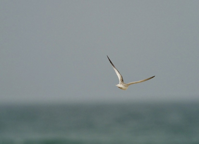 Frimmel Smith - Least Tern Out to Sea
