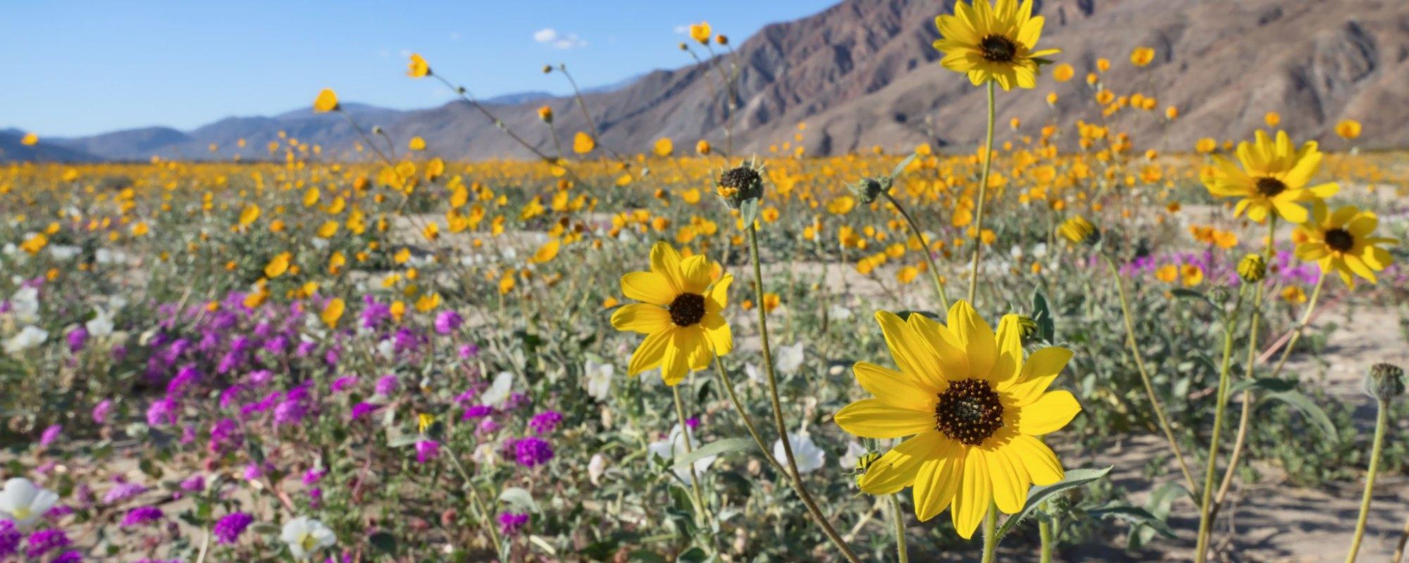 wildflowers in the Anza Borrego desert