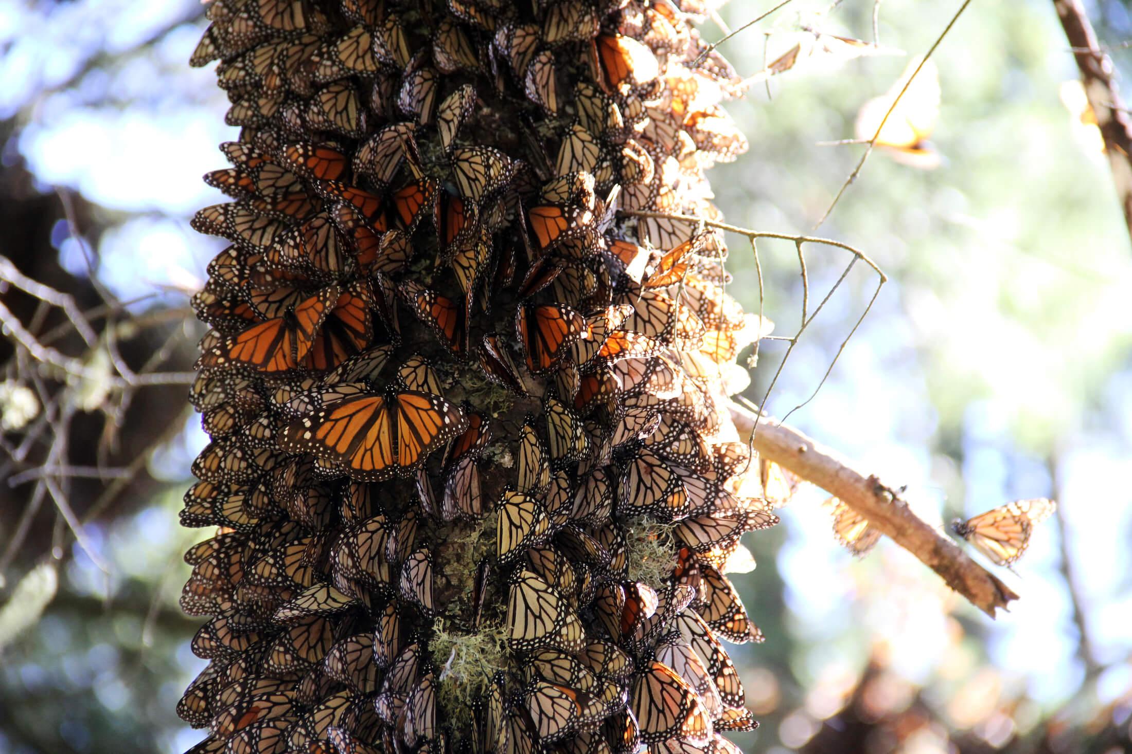 Conservación de la Reserva de la Biosfera Mariposa Monarca, a través del desarrollo integral sostenible