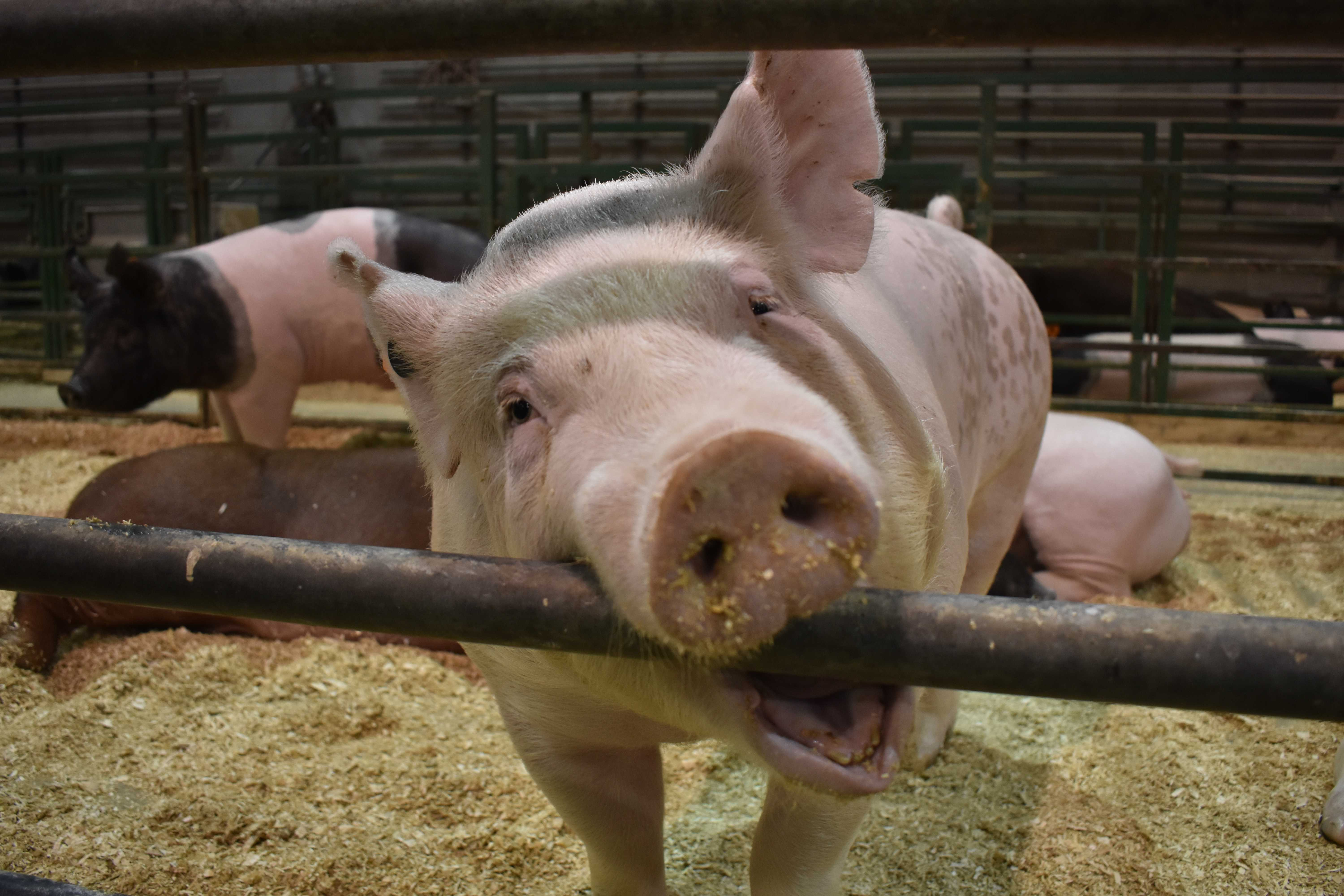 FILE PHOTO A pig stays in the Animal Science Arena for Little International March 28, 2017. The pigs, sheep and goats are housed in the Animal Science Arena before and during Little