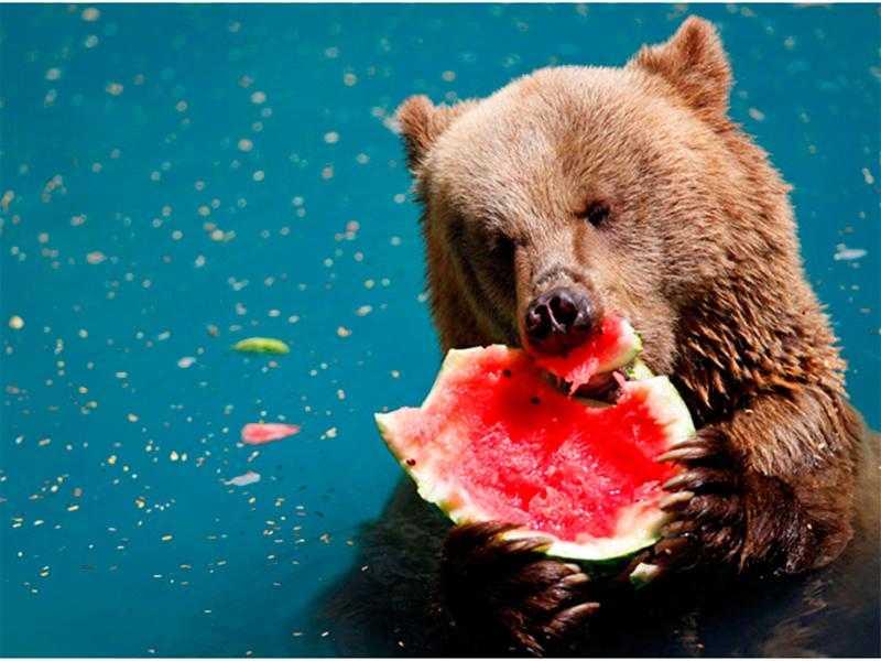 Медведи на Арабатке тоннами поедают арбузы