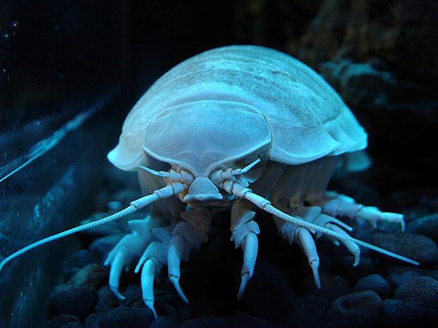 Key West Exhibit Adds Giant Deep Sea Isopods