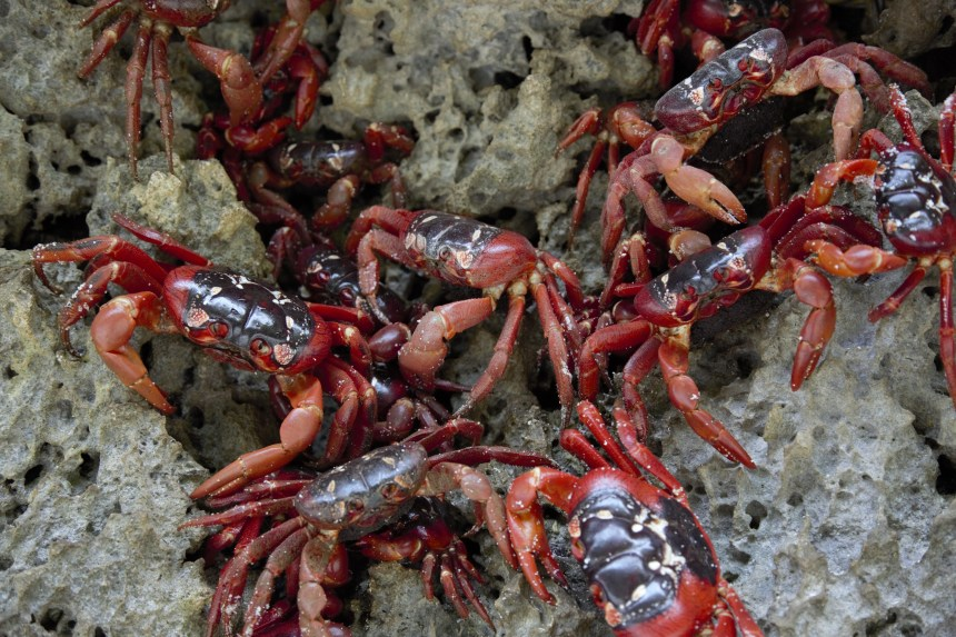 giant red crabs Christmas Island