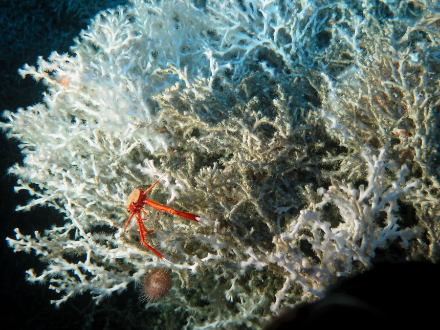 deep sea squat lobster USGS