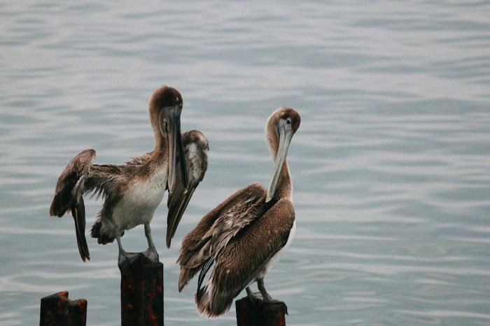 pelicans sur le malecon à cuba