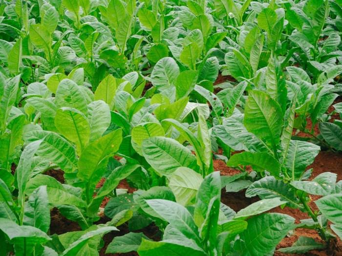champ de tabac cuba