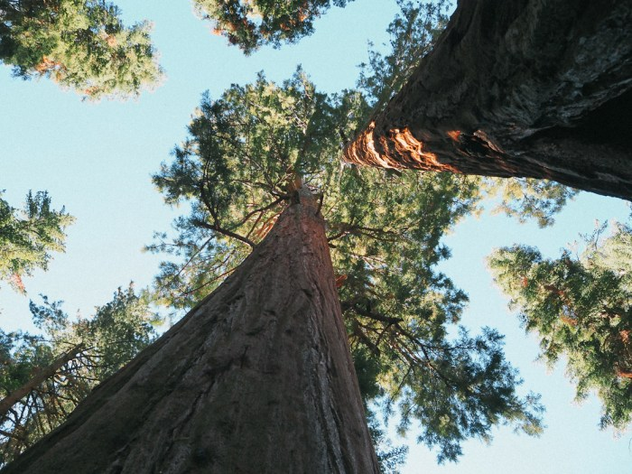 voir des sequoia géants californie