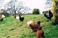 chirk chickens!