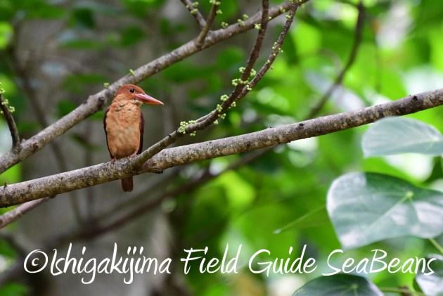 7.20 石垣島 野鳥撮影 バードウオッチング2
