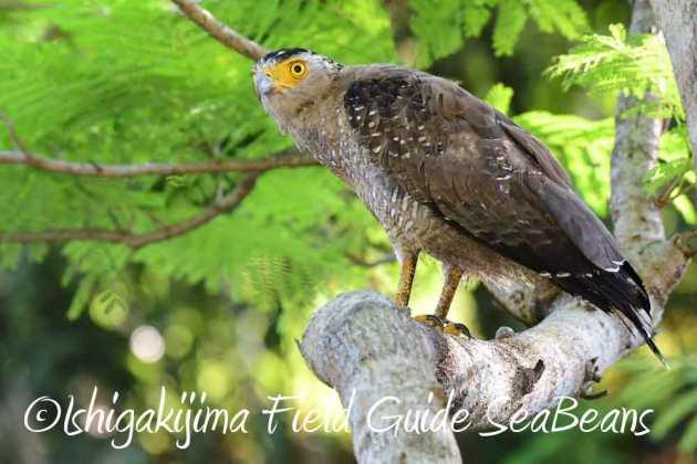 7月27日 石垣島の野鳥2