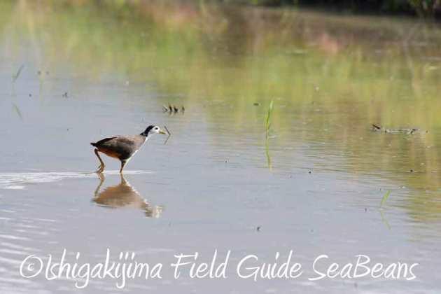 7月27日 石垣島の野鳥3