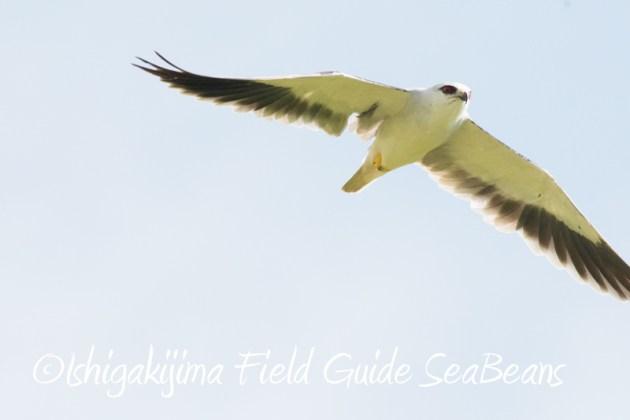 7月29日 石垣島バードウオッチング&野鳥撮影1
