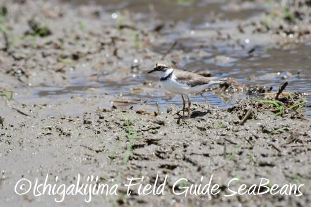7.20 石垣島 野鳥撮影 バードウオッチング10