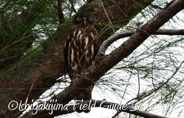 7.22-石垣島 野鳥 バードウオッチング 撮影ガイド6