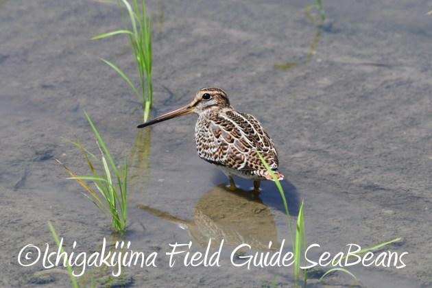 8月27日石垣島バードウオッチング&野鳥撮影13