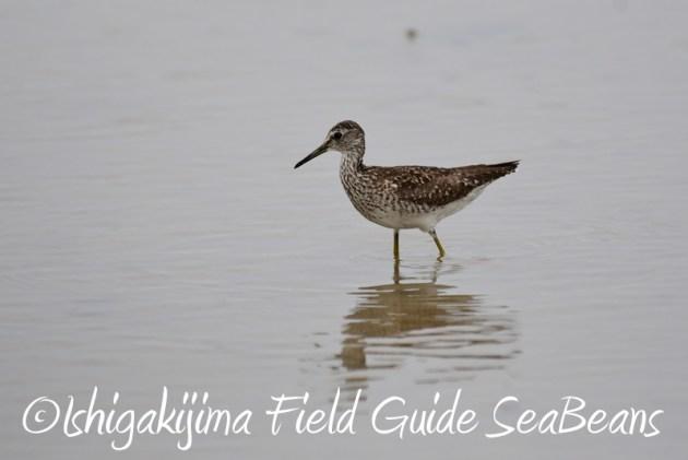 8月6日 石垣島の野鳥 バードウオッチング6
