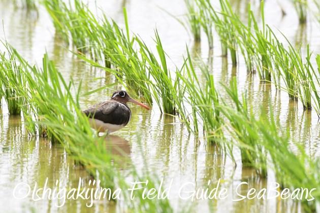 8月26日石垣島バードウオッチング&野鳥撮影ガイド8