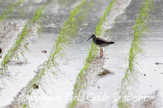 8月8日石垣島 バードウオッチング&野鳥撮影4