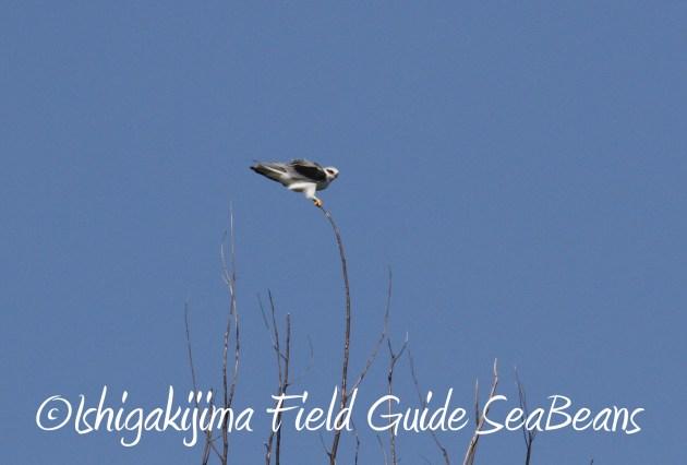 8月29日石垣島バードウオッチング&野鳥撮影8