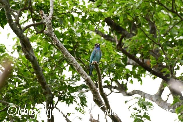 8月17日石垣島バードウオッチング&野鳥撮影13