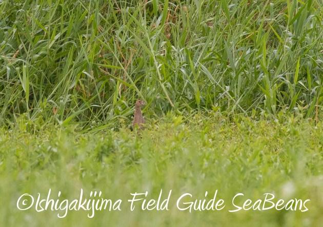 8月16日石垣島 バードウオッチング&野鳥撮影ガイド20