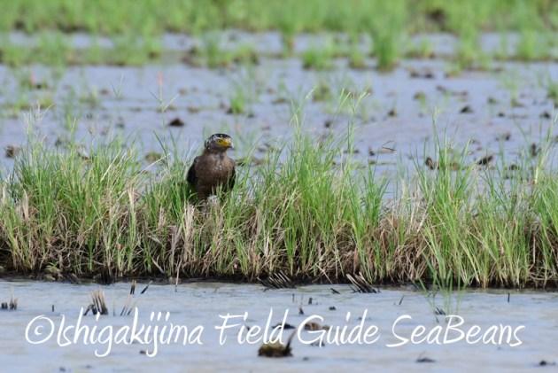 8月1日 石垣島 バードウオッチング 野鳥撮影14