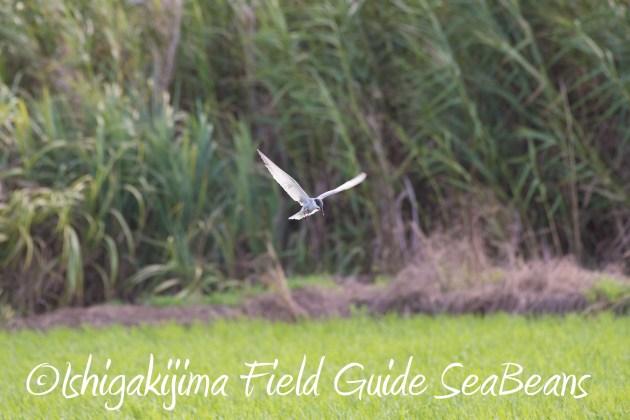 8月26日石垣島バードウオッチング&野鳥撮影ガイド9