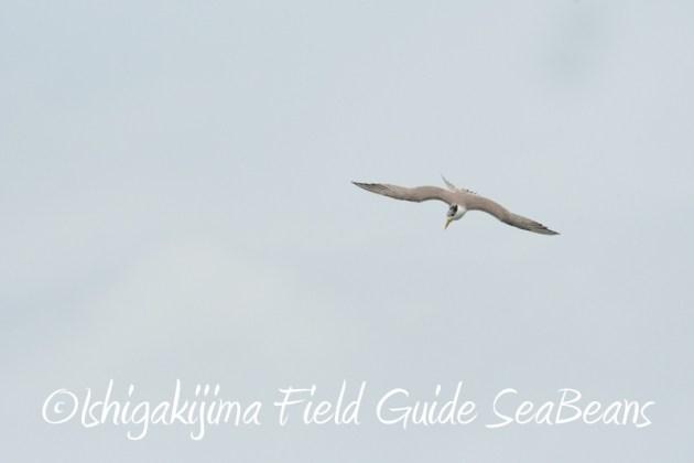 8月8日石垣島 バードウオッチング&野鳥撮影12