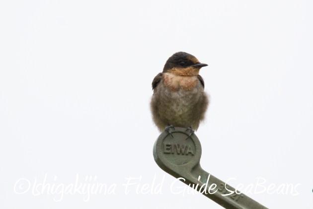 8月31日石垣島バードウオッチング&野鳥撮影5