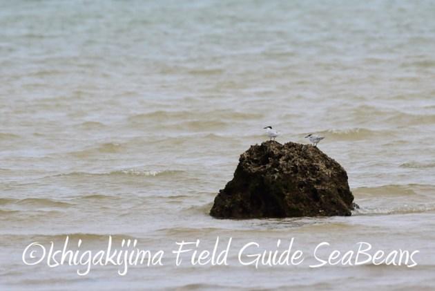 8月11日石垣島バードウオッチング&野鳥撮影15