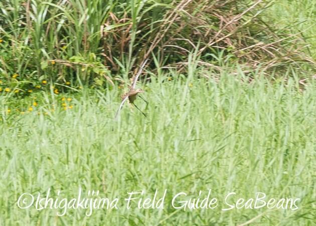 8月11日石垣島バードウオッチング&野鳥撮影11