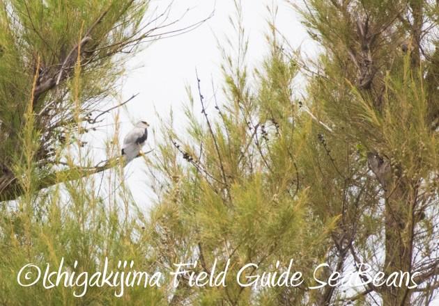 8月17日石垣島バードウオッチング&野鳥撮影19
