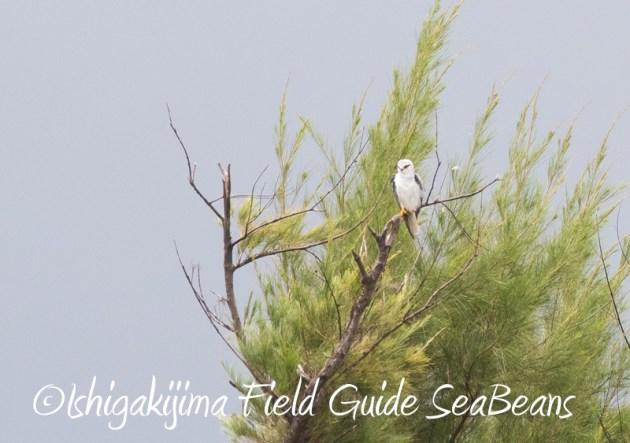 8月10日石垣島 バードウオッチング&野鳥撮影10