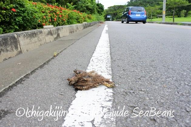 8月12日石垣島リュウキュウコノハズク交通事故
