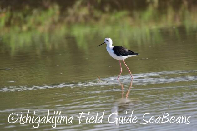 8.15石垣島バードウオッチング&野鳥撮影1