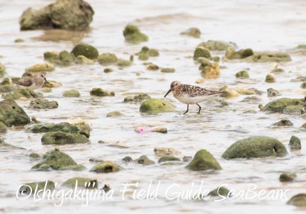 8月10日石垣島 バードウオッチング&野鳥撮影15