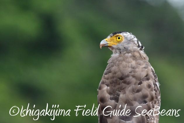 8月16日石垣島 バードウオッチング&野鳥撮影ガイド3