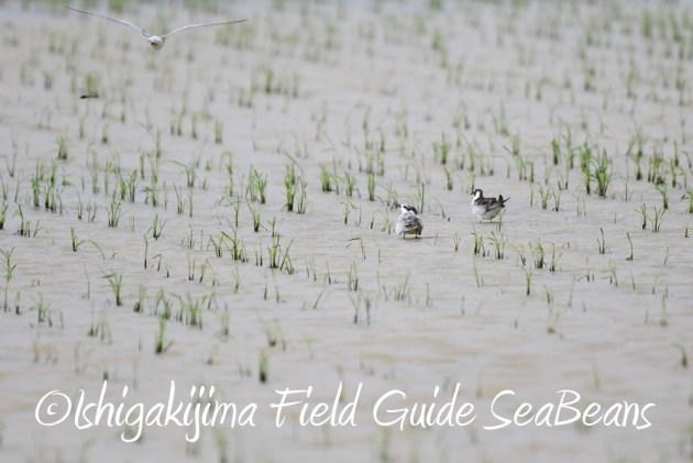 9月7日石垣島バードウオッチング&野鳥撮影ガイド10