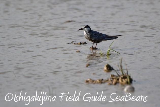 C-_Users_SeaBeans_Desktop_9月5日石垣島バードウオッチング&野鳥撮影ガイド6