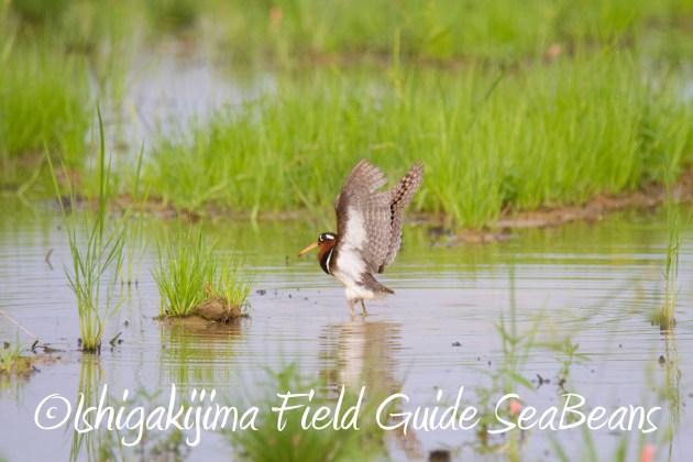 9月1日石垣島バードウオッチング&野鳥撮影ガイド10