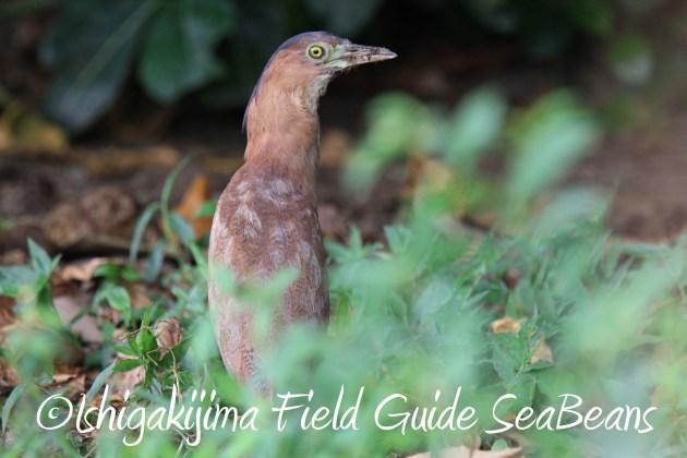 9月1日石垣島バードウオッチング&野鳥撮影ガイド20